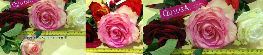 Τριαντάφυλλα Ecuador.