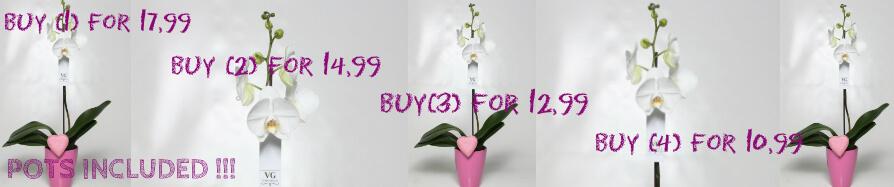 """Ορχιδέα φαλαίνοψις φυτό """"(1) στέλεχος λουλουδιών"""""""